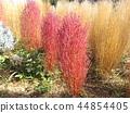 bassia scoparia, burningbush, kochia 44854405