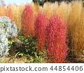 bassia scoparia, burningbush, kochia 44854406