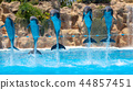 Group of jumping dolphins during show in zoo. 44857451