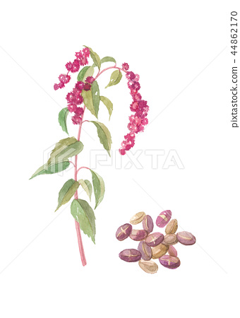 Amaranthus flowers and seeds 44862170