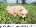 Little Pomeranian on the grass. 44876015