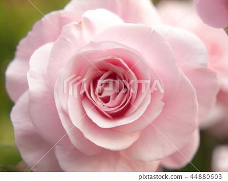 粉紅色玫瑰 44880603
