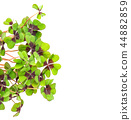 Fresh green four leaved clover on white background 44882859