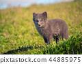 fox, animal, wildlife 44885975