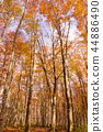 beech, forest, maple 44886490