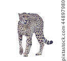 Digital painting of cheetah on white background 44897980