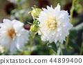 달리아 꽃 44899400