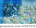 Fat-tailed gerbil or Pachyuromys duprasi 44907630