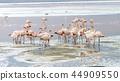 安第斯火烈鳥 44909550