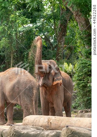 亞洲大象 44922268