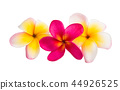 flower plumeria flowers 44926525