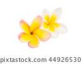 flower plumeria flowers 44926530