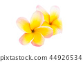 flower plumeria flowers 44926534