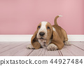 Cute playful tan and white basset hound puppy 44927484