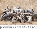 อีแร้งฝูงนักล่าเคนยามาไซมารา 44931323