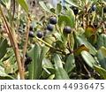 rhaphiolepis umbellata, fruit, beach plant 44936475