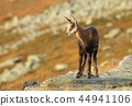 Cute baby chamois in mountains 44941106