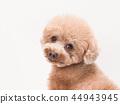 Toy poodles turning around laughing 44943945