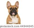 French, bulldog, animal 44944045