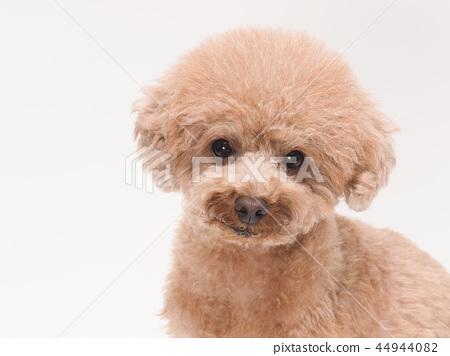 微笑玩具貴賓犬 44944082