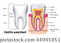 Tooth anatomy vector dental infographics 44945951
