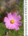 คอสมอส,ฤดูใบไม้ร่วง,ดอกไม้ 44967244