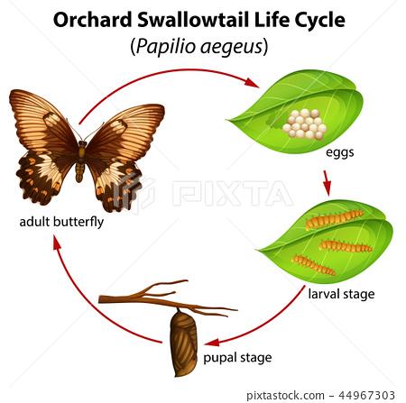 Orchard swallowtail life cycle 44967303