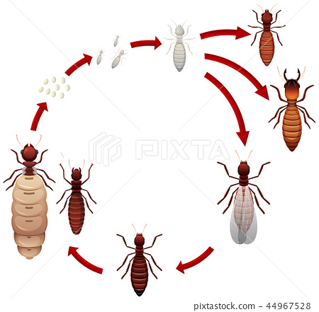 A termite life cycle 44967528