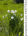 Narcissus poeticus or daffodil white flowers 44977501