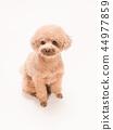 坐和笑的玩具獅子狗 44977859