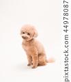 坐和笑的玩具獅子狗 44978087