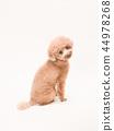 玩具貴賓犬轉過身來笑 44978268