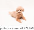坐和笑的玩具獅子狗 44978269