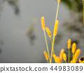 석양에 물드는 강아지풀 44983089