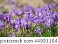 crocus, purple, flower 44991194
