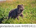 fox, wildlife, grass 44991411