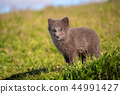 fox, wildlife, grass 44991427