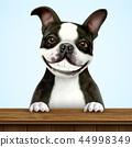 Smiling boston terrier 44998349