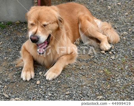Yawn of a dog 44999419