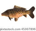Mirror carp isolated 45007896