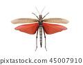 grasshopper tropidacris dux isolated 45007910