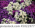 Bouquets of flowers White and purple aster flowers 45022977