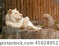 Portrait of white lion lying on stump 45028952