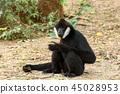 Portrait of black gibbon sitting and finding food 45028953