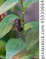 두견새의 청띠 신선 나비 앞에서 번데기 45030664