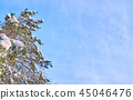Pine trees covered with snow. 45046476