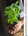 basil, herb, herbal 45046802