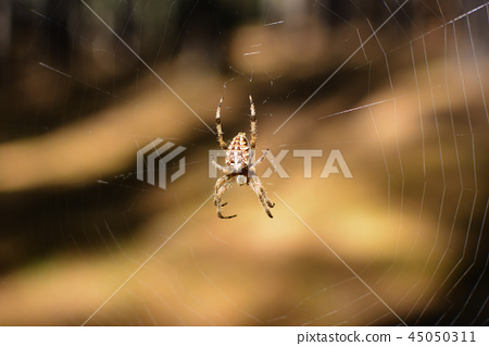 Spider in its environment, the cob web 45050311