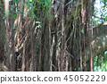 Beautiful banyan tree inhong kong 45052229