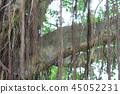 Beautiful banyan tree inhong kong 45052231
